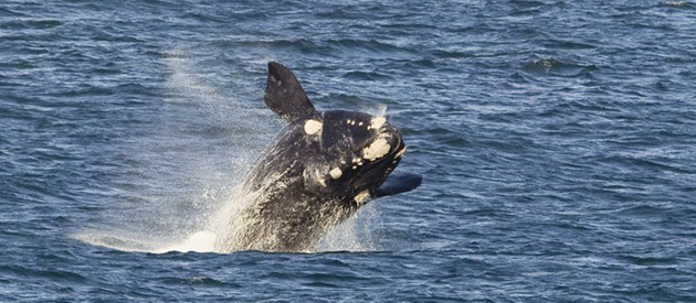 Whale Watching in Hermanus: The Ultimate Guide